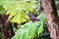 A young 'io (or native Hawaiian hawk) perched on a hapu'u fern frond is attracted to something below in the rainforest mist of Volcano, island of Hawai'i.