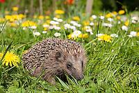 Europäischer Igel im Garten auf Frühlingswiese mit Gänseblümchen und Löwenzahn, Erinaceus europaeus, Western hedgehog, Westigel, Braunbrustigel, Hérisson d`Europe de l`Ouest