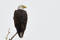 Bald Eagle, Colorado