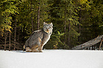 Canada Lynx (Lynx canadensis) eleven month old female kitten defecating in winter, Manitoba, Canada