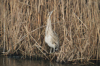 Great Bittern (Botaurus stellaris), adult in reeds, Switzerland