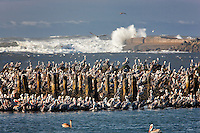 Brown Pelicans (Pelecanus occidentalis). Mouth of Coquille River, Oregon