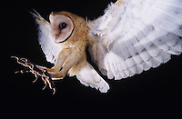 Barn Owl, Tyto alba ,adult in flight, Lake Corpus Christi, Texas, USA