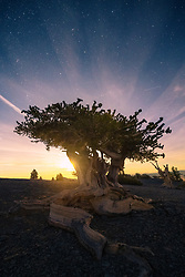 The soft glow of the rising moon behind an ancient bristlecone in Nevada's Great Basin.