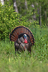 Tom turkey strutting for a hen in northern Wisconsin.