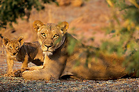 African lions--female with cub.  Africa.