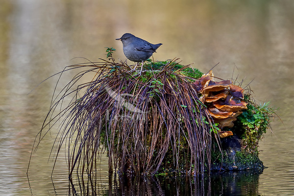 American dipper (Cinclus mexicanus), also known as a water ouzel, standing on old stump in pond.  Olympic National Park, WA.  Fall.