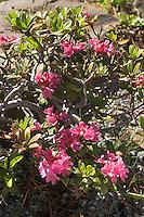 Rostblättrige Alpenrose, Alpen-Rose, Rhododendron ferrugineum, Alp Rose, Rusty Leaved Alprose, Rhododendron ferrugineux