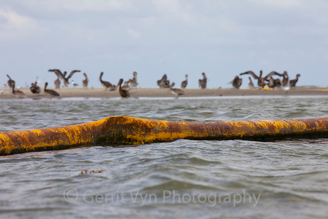 Oiled Brown Pelicans (Pelecanus occidentalis) sitting on a beach behind an oil covered boom. This nesting colony is teh largest in Louisiana and was heavily oiled by the BP spill. Raccoon Island, Terrebonne Parish, Louisiana. July 2010.