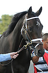March 21, 2015: Royal Son before the Horseshoe Casino Spiral Stakes at Turfway Park.