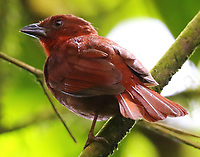 Hepatic tanager male