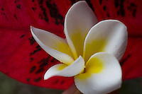 Tropical Hawaiian plumeria