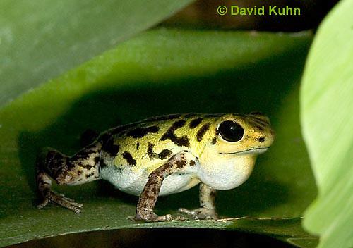 1014-07qq  Dendrobates pumilio ñ Strawberry Poison Arrow Frog ñ Strawberry Poison Dart Frog  © David Kuhn/Dwight Kuhn Photography