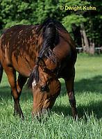 SH06-036z  Arabian Horse - Mare grazing