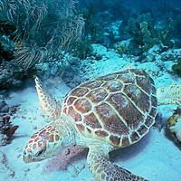 scuba diver and loggerhead turtle, Caretta caretta, Miami, Florida, Atlantic