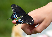 Little girl looking at Black Swallowtail Butterfly