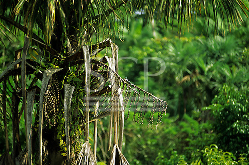 Brazil. Palm tree with creepers and tiny Kingfisher bird on a branch.