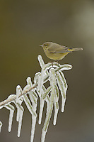 Orange-crowned Warbler (Vermivora celata), adult perched on icy branch of Christmas cholla (Cylindropuntia leptocaulis), Hill Country, Texas, USA