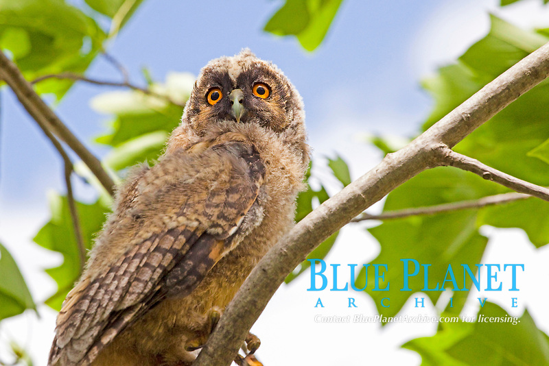 young eagle owl, bubo bubo, Thessaliniki, Greece