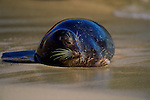 A harbor seal lays in the sun on a Southern California beach.