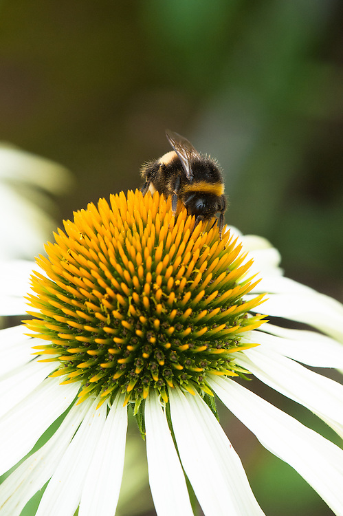Bee on Echinacea purpurea 'White Swan', mid August.