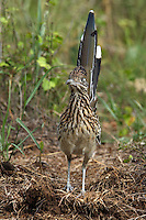 Morning shot of that famous star from the roadrunner & coyote cartoon, classic pose..<br />
