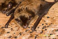 MA20-647z  Little Brown Bats, Myotis lucifugus