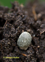 FB03-517z Lupine Seed planted in soil, Lupinus perennis