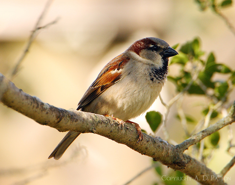 Adult male house sparrow, the scourge of my birdfeeder