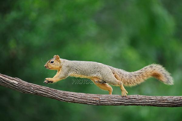 Eastern Fox Squirrel (Sciurus niger), male running on vine, Refugio, Coastel Bend, Texas, USA