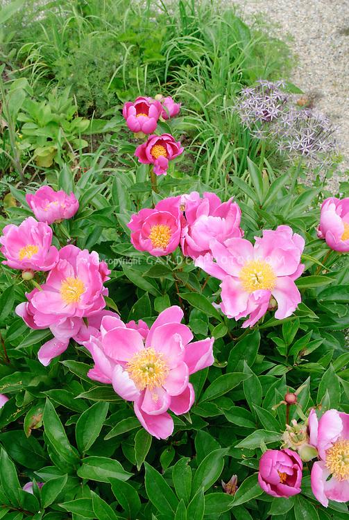 Paeonia Pink Dawn peony, single to semi-double peonies in flower