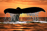 humpback whale, Megaptera novaeangliae, fluke at sunset, Kohala Coast, Big Island, Hawaii, USA, Pacific Ocean (dc)