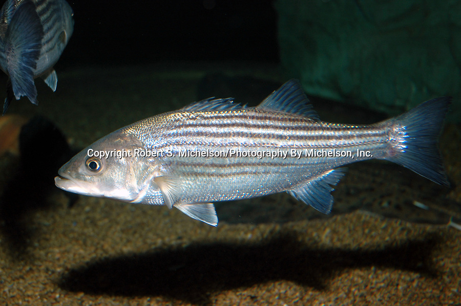 striped bass swimming facing left