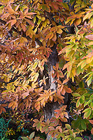 Quercus mongolica, Mongolian oak tree leaves infall, autumn color at Quarryhill Botanic Garden
