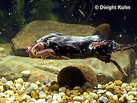 MB15-016z   Star-nosed Mole - catching a worm in a pool of  water - Condylura cristata