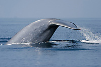 Blue Whale (Balaenoptera musculus) fluke-up dive in the offshore waters of Santa Monica Bay, California, USA.