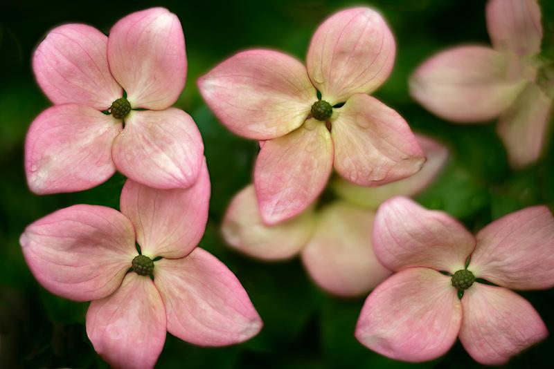 Close up of dogwood blossoms. Oregon