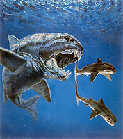 illustration, arthrodire placoderm fish, Dunkleosteus sp., a prehistoric, predatory, marine fish, attacking Cladoselache sp., primitive shark (grew to be up to 1.8 m or 6 ft long), lived in shallow seas during the Late Devonian period, about 380-360 million years ago, measuring up to 10 m (33 ft) and weighing 3.6 tons, North America