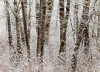 Frozen Trees in Snow Covered Forest, Soos Creek Park, Kent, WA, USA.