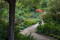 Path into drought tolerant California-Style garden room underneath Flowering Cherry Prunus x. 'Akebono' looking toward the Pollinator Garden,  planted with summer dry plants.; Gamble Garden, Palo Alto, California