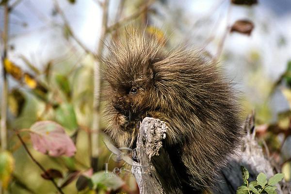Young porcupine (Erethizon dorsatum)