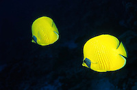Two bright yellow Masked Butterflyfish (Chaetodon semilarvatus) swimming through waters of the Red Sea, Egypt.