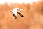 Snow Goose (Chen caerulescens) sub-adult flying, Bosque del Apache National Wildlife Refuge, New Mexico