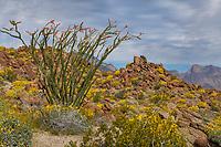 Fouquieria splendens, Ocotillo and yellow flowering Encelia farinosa, Brittlebush in Sonoran Desert at Anza Borrego California State Park
