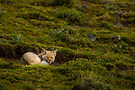 South American Gray Fox (Lycalopex griseus) sleeping, Torres del Paine National Park, Patagonia, Chile