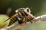 BUMBLE BEE ROBBER FLY, MALLOPHORA FAUTRIX, FEEDS ON HONEY BEE