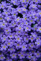 Alpine forget-me-not<br /> Beartooth Scenic Byway<br /> Beartooth Mountains, Shoshone National Forest<br /> Rocky Mountains, Wyoming