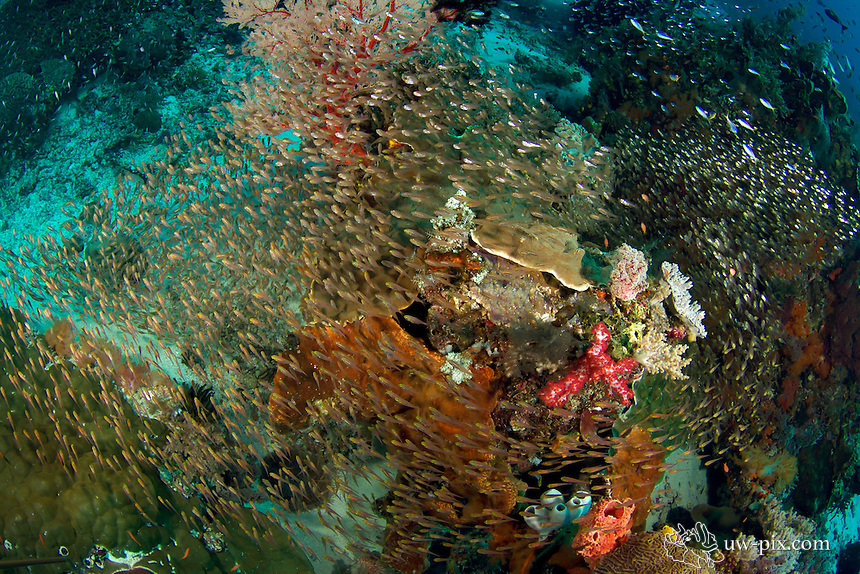 Hundreds of schooling glassfish around a reef in Komodo National Park - Indonesia