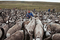 Bovanenkovo ,Yamal Peninsula, Russia, 09/07/2010..The Nenets, indigenous nomadic reindeer herders, round up their 5,000 reindeer before heading north on sledges to the Russian Arctic coast.