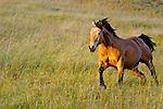 Quarter Horse, San Luis Obispo on the Central Coast of California